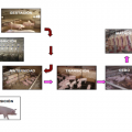guia-cria-cerdos